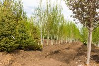 Aspen Tree Grow