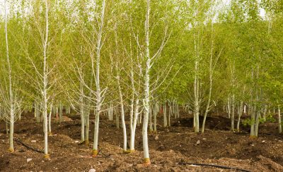 Aspens in Eagle Crest Nursery