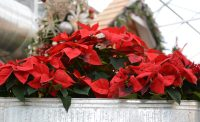 Red Flowers for Christmas at Eagle Crest Nursery